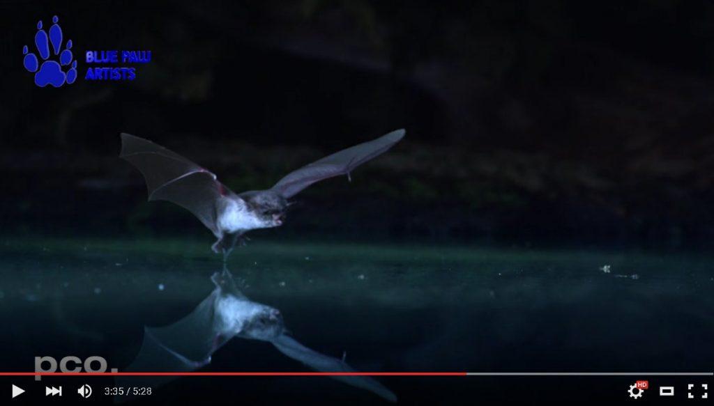Video: Jagende Fledermäuse in Zeitlupe