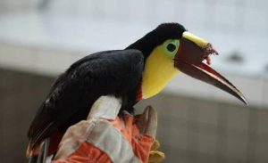 Schnabelprothese für Tukan